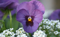 Purple pansy wallpaper 1920x1080 jpg