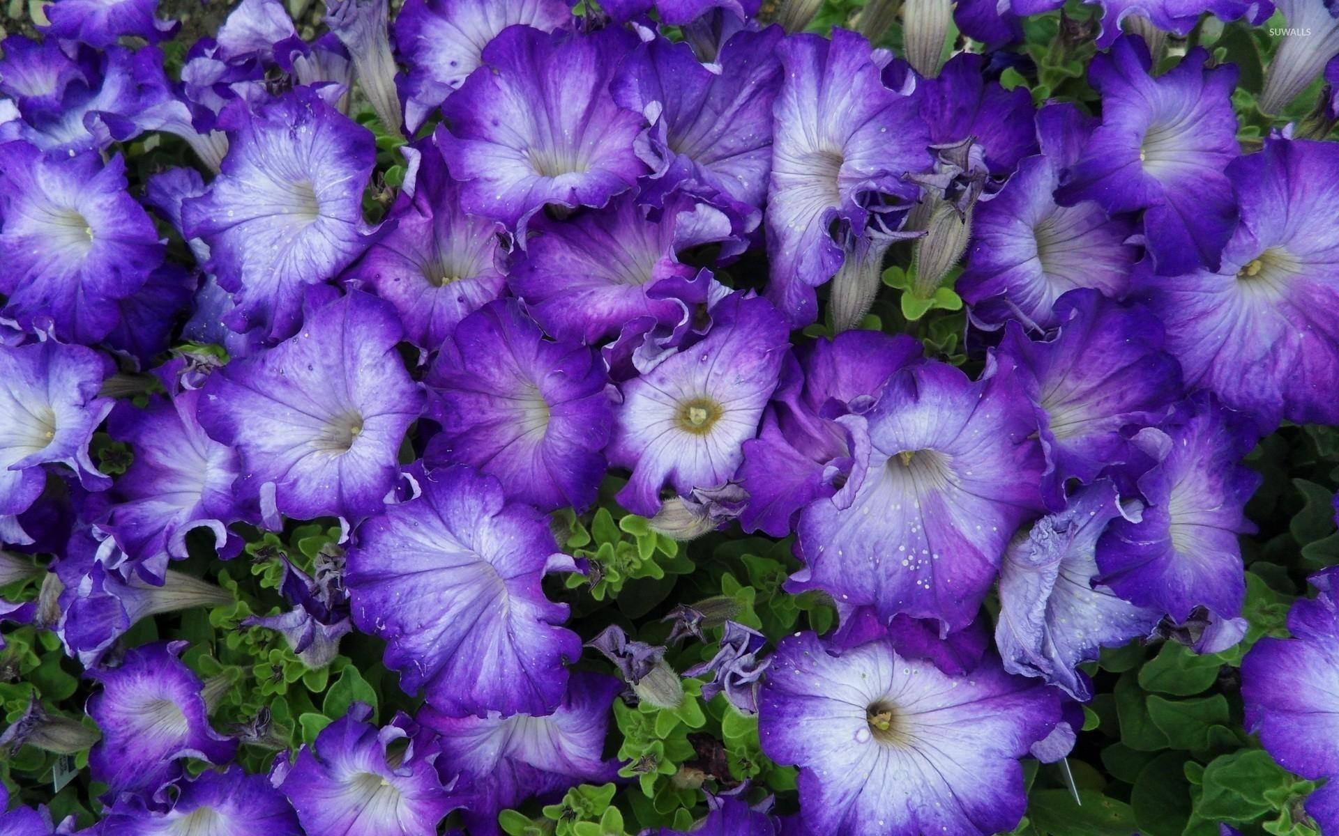 Purple Petunias [3] wallpaper - Flower wallpapers - #40205