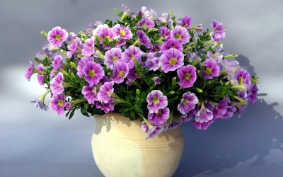 Purple petunias in a flowerpot wallpaper