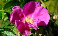 Purple rose [4] wallpaper 3840x2160 jpg