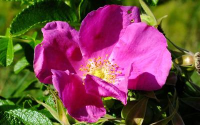 Purple rose [4] wallpaper
