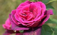 Purple rose [2] wallpaper 2560x1600 jpg