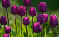 Purple tulips wallpaper 1920x1200 jpg