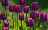 Purple tulips wallpaper 1920x1200 jpg