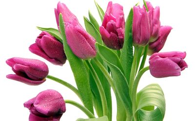 Purple tulips with water drops wallpaper