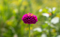 Purple zinnia wallpaper 3840x2160 jpg