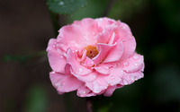 Raindrops on a pale pink rose wallpaper 2880x1800 jpg