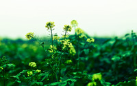 Rapeseed [2] wallpaper 2560x1600 jpg