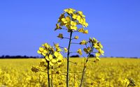 Rapeseed [3] wallpaper 1920x1200 jpg