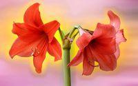 Red amaryllis wallpaper 1920x1200 jpg