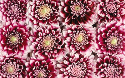 Red and pink dahlias wallpaper