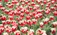 Red and white tulips on the field wallpaper 1920x1200 jpg