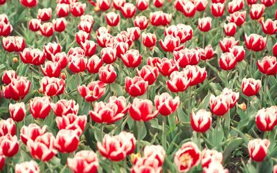 Red and white tulips on the field wallpaper