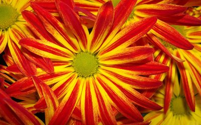 Red and Yellow Daisy wallpaper