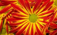 Red and yellow daisy wallpaper 1920x1200 jpg