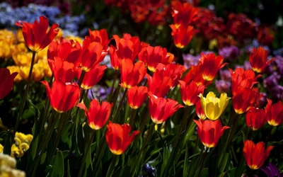 Red and yellow tulips wallpaper