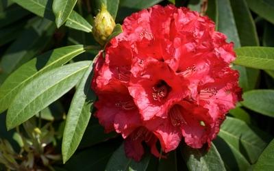 Red azaleas wallpaper