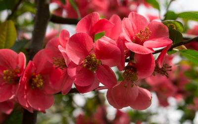 Red blossoms wallpaper