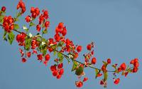 Red blossoms [2] wallpaper 2560x1600 jpg