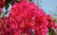 Red bougainvilleas wallpaper 2880x1800 jpg
