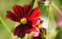 Red cosmos wallpaper 2560x1600 jpg