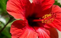 Red Hibiscus blossom close-up wallpaper 2880x1800 jpg