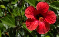 Red Hibiscus blossom in the afternoon sun wallpaper 3840x2160 jpg