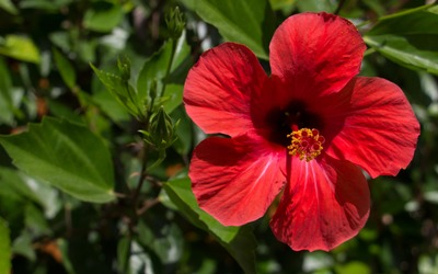 Red Hibiscus blossom in the afternoon sun wallpaper