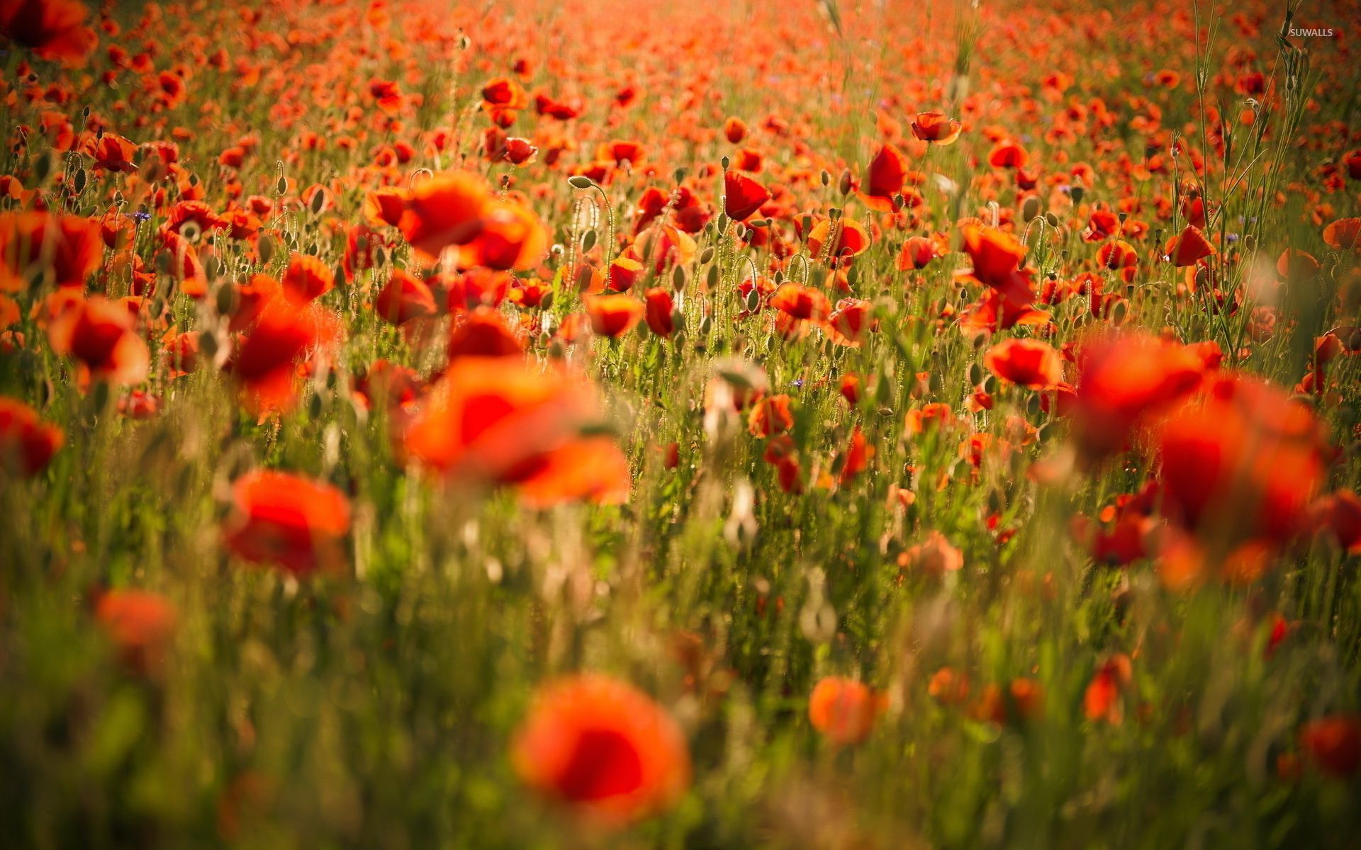 red poppies wallpaper - flower wallpapers - #33270