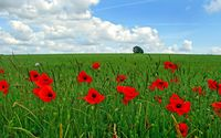 Red poppies on the field wallpaper 1920x1200 jpg