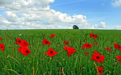 Red poppies on the field wallpaper
