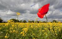 Red poppy in a rapeseed field wallpaper 2560x1600 jpg