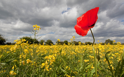 Red poppy in a rapeseed field wallpaper