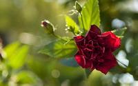 Red rose [4] wallpaper 2560x1600 jpg