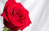Red rose with water drops [2] wallpaper 1920x1200 jpg