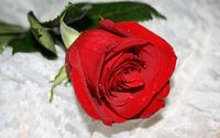 Red rose with water drops wallpaper 1920x1200 jpg