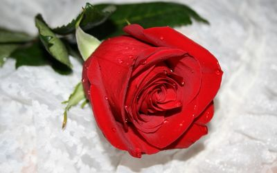 Red rose with water drops wallpaper