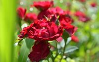 Red roses [10] wallpaper 2560x1600 jpg