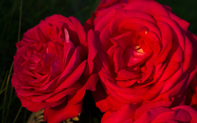Red roses [8] wallpaper