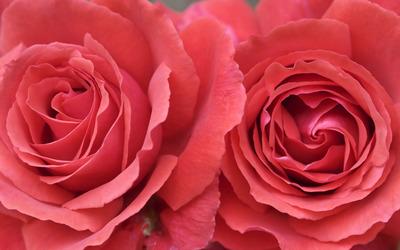 Red Roses [5] wallpaper