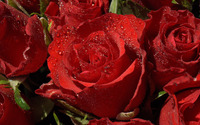 Red Roses [4] wallpaper 1920x1200 jpg