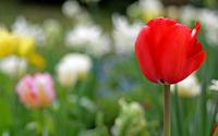 Red tulip wallpaper 1920x1200 jpg