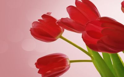 Red tulips [6] wallpaper