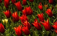 Red tulips [7] wallpaper 2560x1600 jpg