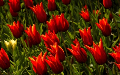 Red tulips [7] wallpaper