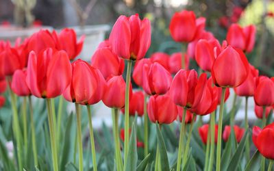 Red tulips [11] wallpaper