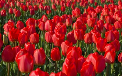 Red tulips [9] wallpaper