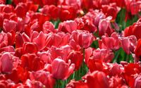 Red Tulips wallpaper 1920x1200 jpg