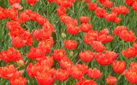 Red tulips on the field wallpaper 2560x1600 jpg
