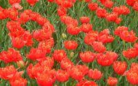 Red tulips on the field wallpaper 2560x1600 jpg